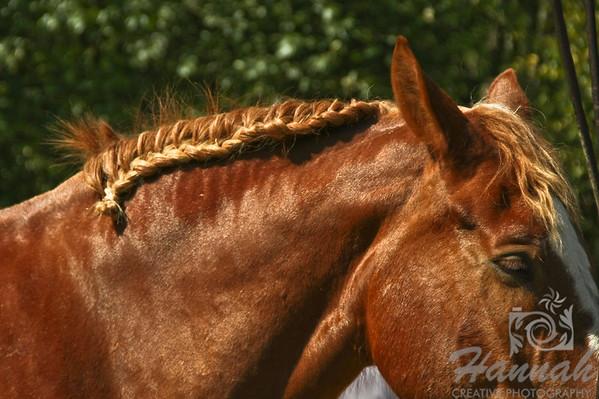 Horse with Braid at Stanley Park Vancouver, British Columbia, Canada   © Copyright Hannah Pastrana Prieto