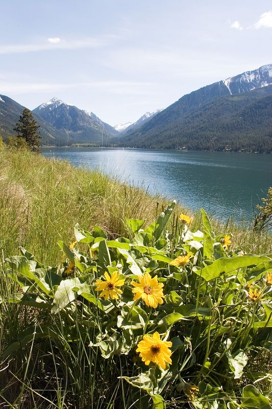 A patch of Arrowleaf Balsamroot  in front of Wallowa Lake.