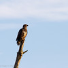 Immature Bald Eagle warming in the morning light.