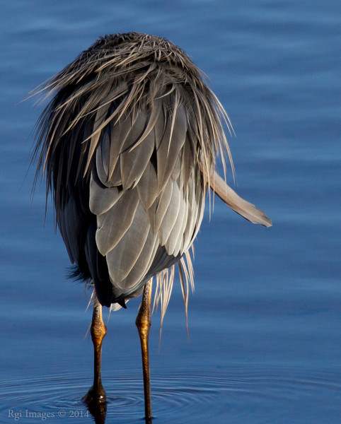 GBH detail- misaligned feather.