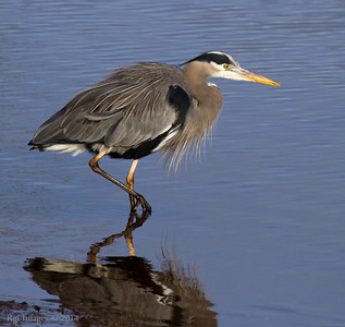 Great Blue Heron (GBH) on the hunt.