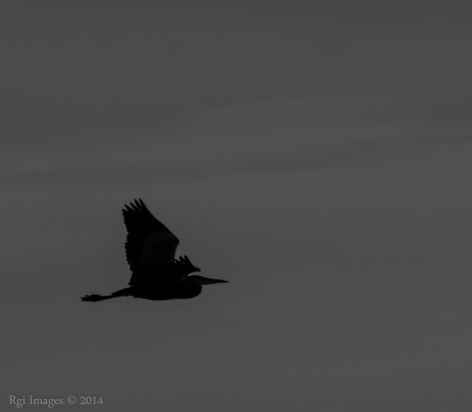 Great Blue Heron (GBH) on the wing.