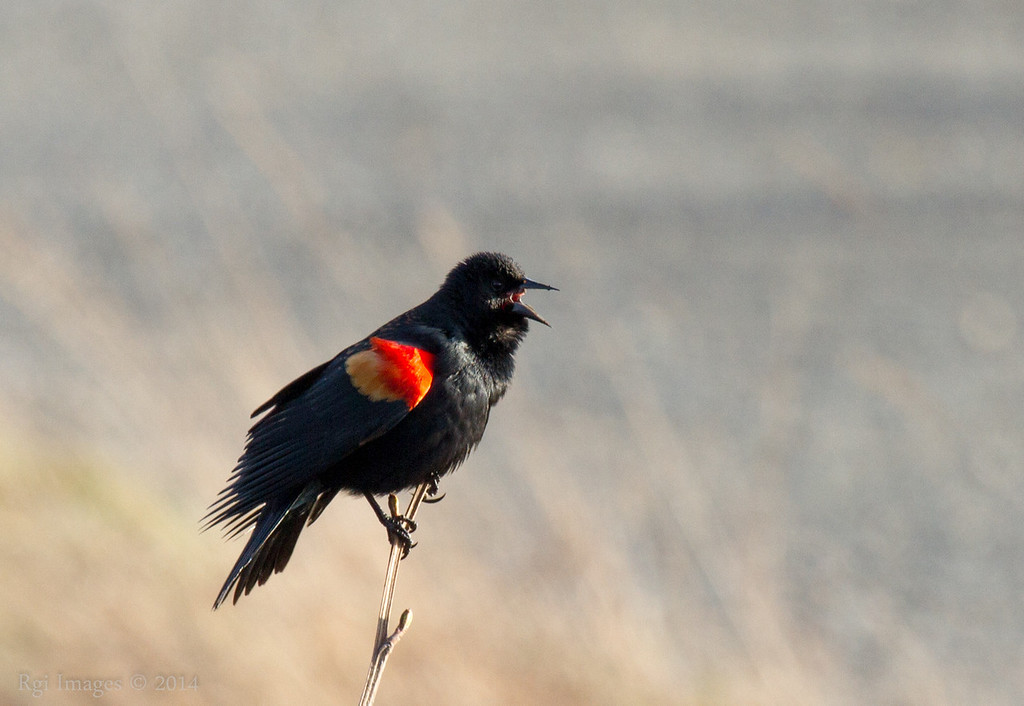 Red-winged Blackbird singing in full voice.