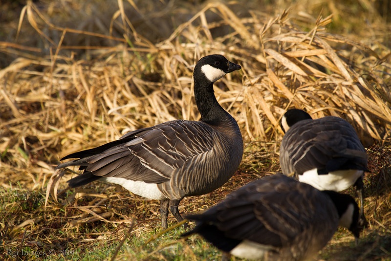 There was a flock of two dozen young geese grazing right next to the trail- no fear of people.