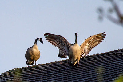 Geese on the barn roof- they forced this guy off their roof line.