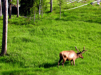 Elk | Yellowstone National Park | Wyoming | US - 0016