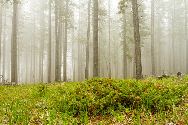 Forest floor in fog in the Porcupine Hills, Alberta, Canada.