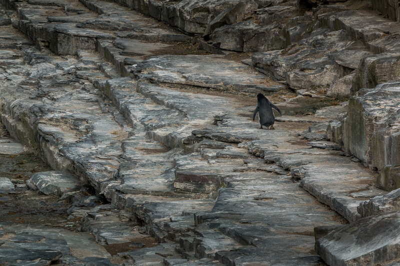 Rockhopper penguin on Sea Lion Island cliffs, Falklands