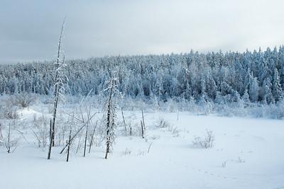 Open meadow with Canada lynx Lynx canadensis tracks near Fort Vermillion, Alberta, Canada.