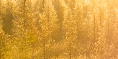 Sunrise among tamarack larch trees, Larix laricina, near Westlock, Alberta, Canada.