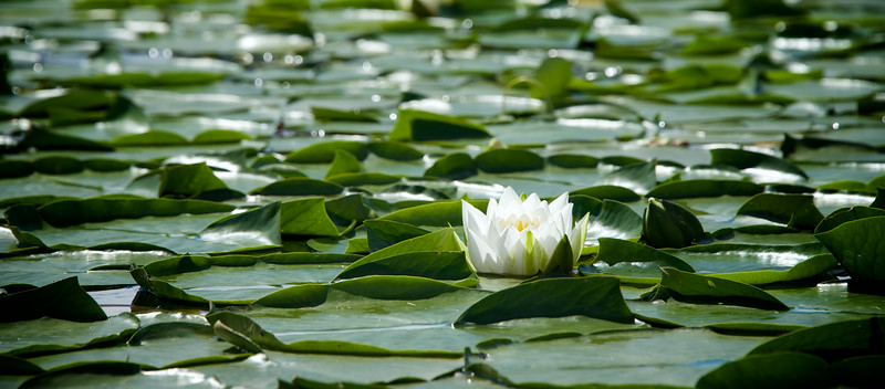 Lotus flower.  Lake Washington Seattle, WA.