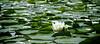 Lotus flower.  Lake Washington Seattle, WA.