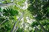 Towering trees on Kauai, HI.