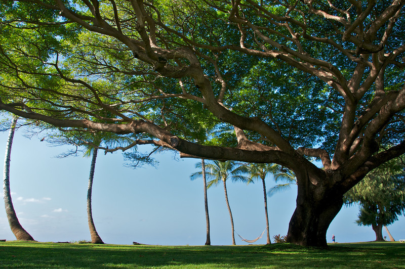 Monkey Pod Tree, Kauai, HI