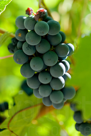 Napa Wine Grape Bunches 001 | Wall Art Resource