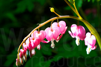 Bleeding Hearts 001 | Wall Art Resource
