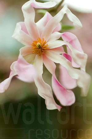 Magnolias In Bloom 004 | Wall Art Resource