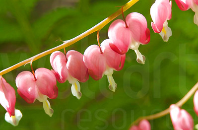 Bleeding Hearts 003 | Wall Art Resource