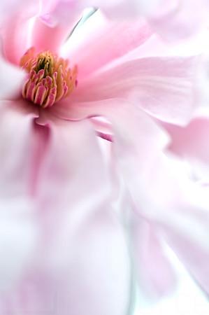Magnolias In Bloom 006 | Wall Art Resource