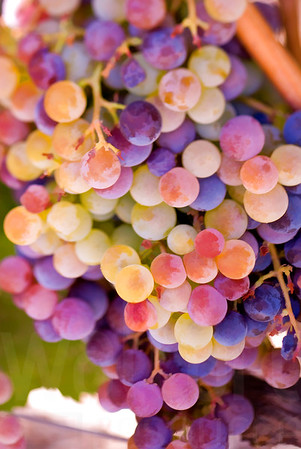 Napa Wine Grape Bunches 009 | Wall Art Resource