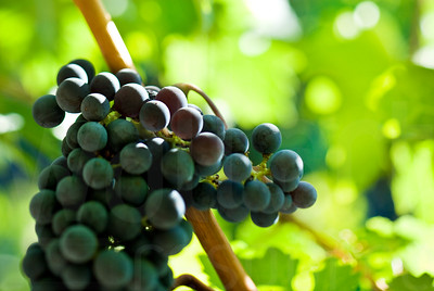 Napa Wine Grape Bunches 003 | Wall Art Resource