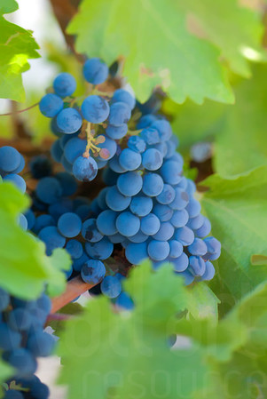 Napa Wine Grape Bunches 008 | Wall Art Resource
