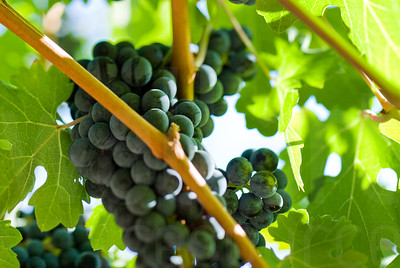 Napa Wine Grape Bunches 005 | Wall Art Resource