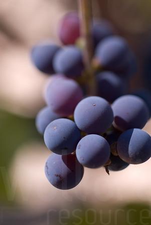 Napa Wine Grape Bunches 007 | Wall Art Resource