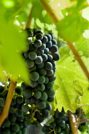 Napa Wine Grape Bunches 002 | Wall Art Resource