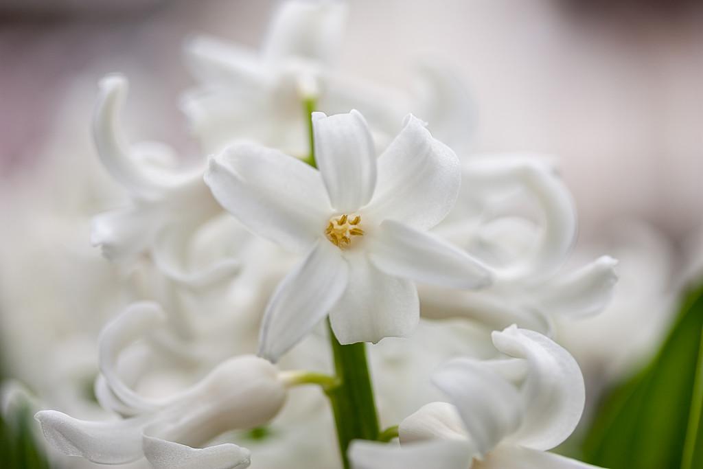 White Hyacinth Closeup