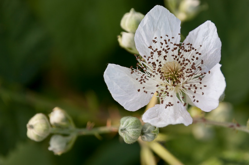 White Blackberry Flower