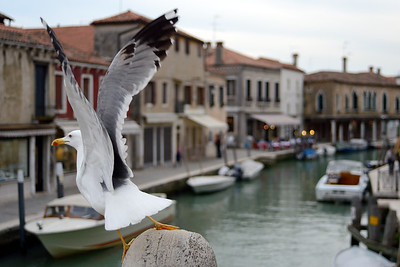 Seagull - Murano, Venice, Italy - April 18, 2014