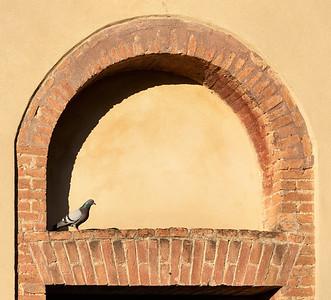 Pigeon - Montalcino, Siena, Italy - June 23, 2018
