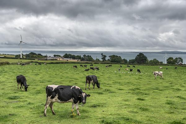 Cows - Carrickfergus, Northern Ireland, UK - August 14, 2017
