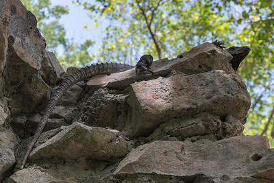 Iguana - Tulum, Quintana Roo, Mexico - August 17, 2014