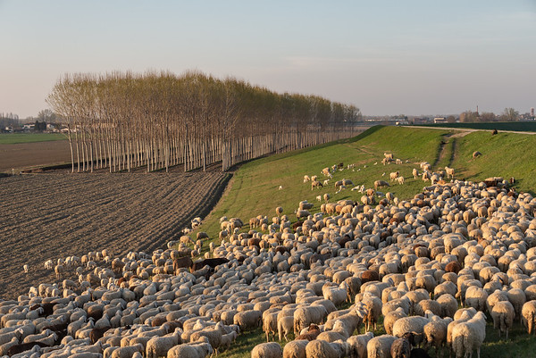 Flock of Sheep - Via Argine Crostolo Sinistro, Gualtieri, Reggio Emilia, Italy - March 16, 2019