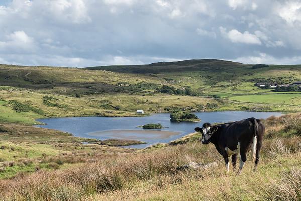 Cow - Fair Head, Ballycastle, Northern Ireland, UK - August 15, 2017
