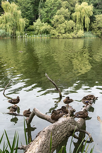 Ducks - Grenadier Pond, High Park, Toronto, Ontario, Canada - August 10, 2015