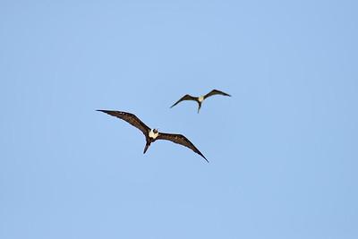 Frigatebird - Playa del Carmen, Quintana Roo, Mexico - August 20, 2014