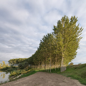 Poplars - San Benedetto Po, Mantova, Italy - October 4, 2019
