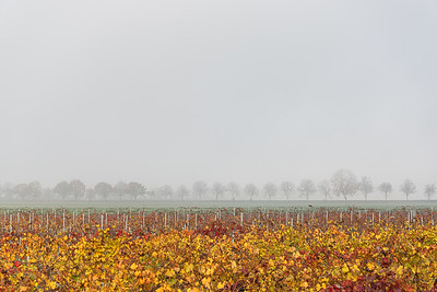 Vineyard and distant trees - Nonantola, Modena, Italy - November 18, 2020