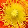 Orange Flower, yellow middle, Chicago Botanic Garden, Glencoe, Illinois