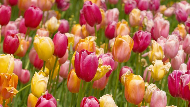 Colorful Tulips, Chicago Botanic Gardens