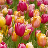 Colorful Tulips, Chicago Botanic Gardens