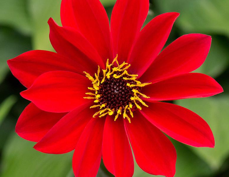 Red Flower, Chicago Botanic Gardens, Glencoe, Illinois