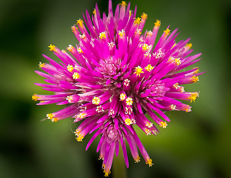 Vivid Purple Flower, Chicago Botanic Gardens, Glencoe, Illinois