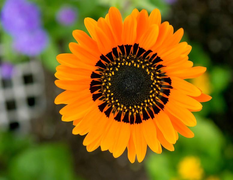 Orange Flower, Chicago Botanic Gardens, Glencoe, Illinois