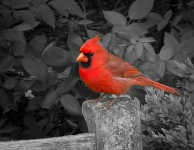 Red Cardinal, Chicago Botanic Gardens, Glencoe, Illinois