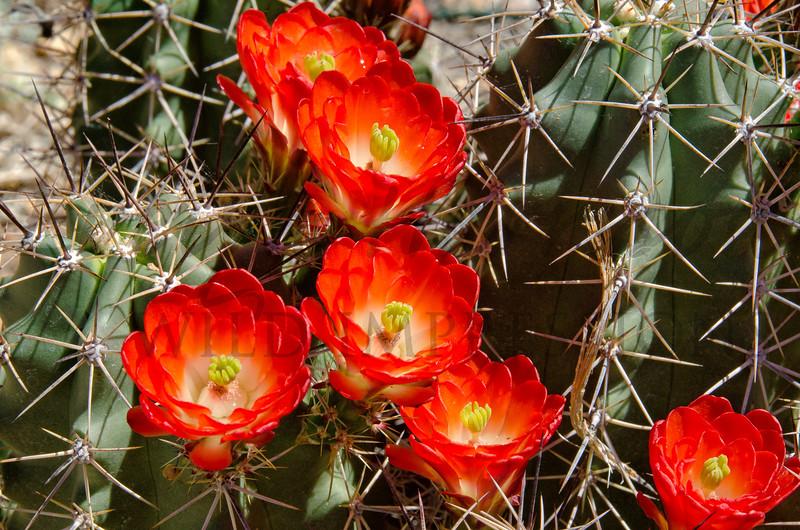 Calret Cup Cactus Blooms