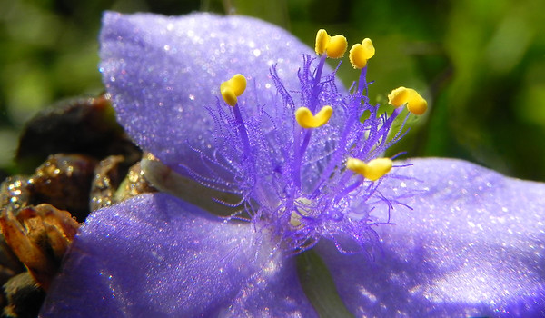 Spiderwort Flower